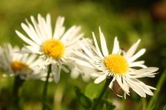 Tatty Daisy (Hooplabean) Tags: new flower up spring close zealand sp nz daisy tamron 3580mm adaptall