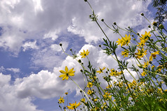 yellow cosmos flower (e.nhan) Tags: light sky flower art nature clouds landscape dof cosmos backlighting enhan