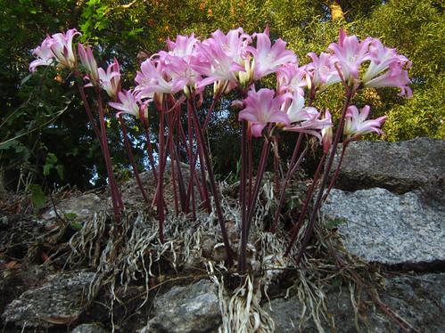 Amaryllis belladonna by juan_y_ana