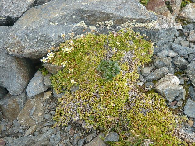 Florada alpina