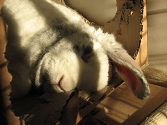 Flopped, too much DIY for one day. (Alex Atkin UK) Tags: rabbit bunny smokey flopped