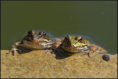 Rã-verde / Perez's Frog / (Rana perezi) by Sérgio Guerreiro