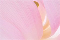 Lotus Flower - IMG_6011-1000 (Bahman Farzad) Tags: pink flower macro yoga peace waterlily lotus relaxing peaceful meditation therapy lotusflower lotuspetal lotuspetals lotusflowerpetals lotusflowerpetal
