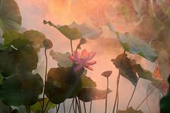 Explored # 15 - Lotus Flower - outdoor photography - - IMG_4255-1000 (Bahman Farzad) Tags: pink light flower macro yoga fog photography peace natural lotus outdoor relaxing peaceful meditation therapy lotusflower lotuspetal naturallightphotography lotuspetals lotusflowerpetals lotusflowerpetal