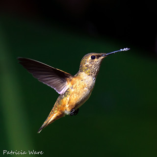 Allen's Hummingbird in Flight with Pollen Covered Beak