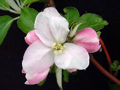 P.2 Blossom