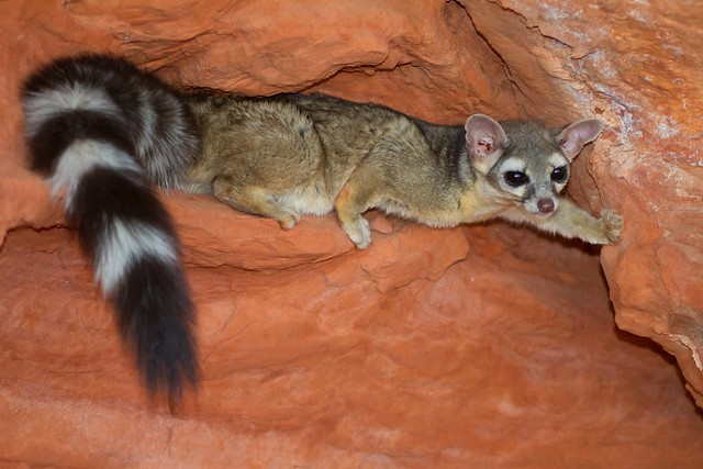 Ring-tailed cat-6.JPG