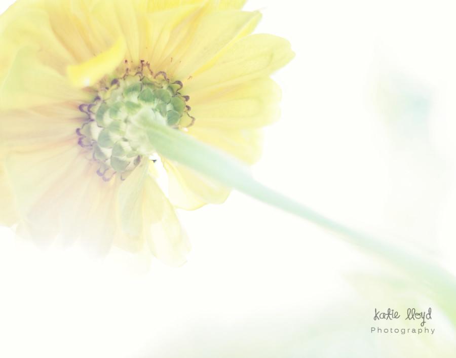 dreamy-yellow-zinnia---11x1