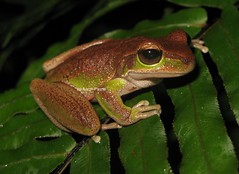 Blue Mountains Tree Frog (Litoria citropa) (Heleioporus) Tags: new blue mountains tree wales south sydney frog litoria citropa