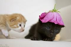 20110708_15319b (Fantasyfan.) Tags: baby pets black flower cute hat animal topv111 furry topv555 topv333 tabby small fluffy kittens fantasyfanin pelko painajainen