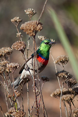 Southern Double-collared Sunbird (Craig Adam Photography (Mostly Offline)) Tags: cc creativecommons sunbird birdwatcher southerndoublecollaredsunbird cinnyrischalybeus doublecollaredsunbird southernlesserdoublecollaredsunbird