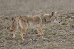 California Valley Coyote (4geigerfamily( too busy not much Flickr time)) Tags: coyote mammals