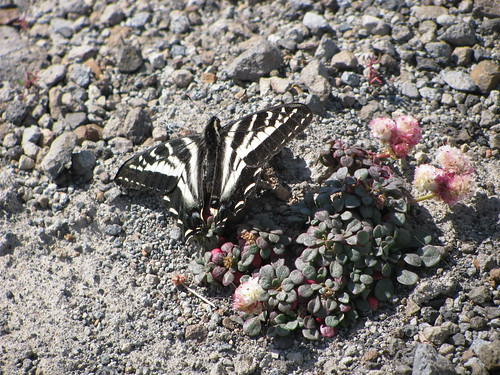 St. Helens butterfly