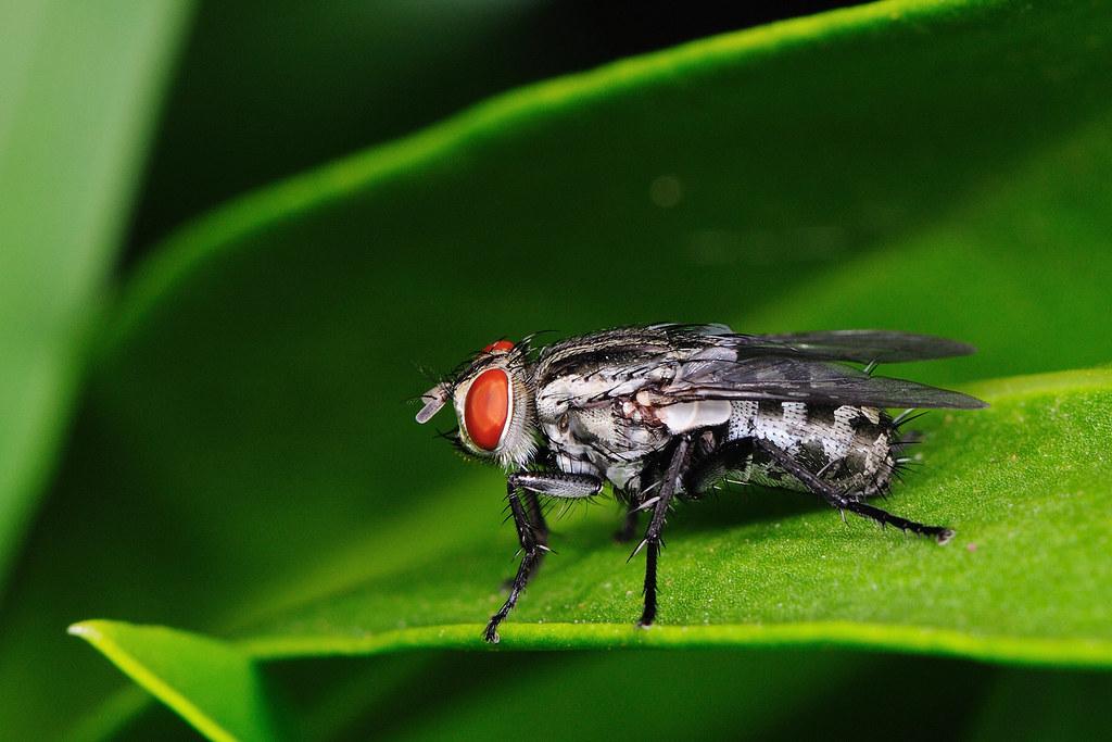 肉蠅 Sarcophaga sp.