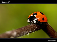 """Lady Bird"" (awhyu) Tags: plant black macro canon photography is bokeh tubes 100mm spots ladybird l extension f28 kenko"