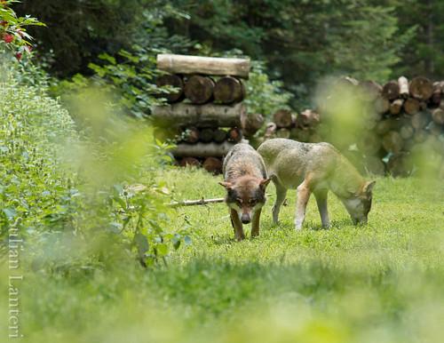 Visite des loups au parc Alpha 6036144570_7d6f129169