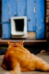 Monitored (* Garron Nicholls *) Tags: ca door blue zeiss cat garden out outside spread ginger back furry backyard feline peeling paint dof f14 sony bricks watching 85mm ears carl cz shallow monitoring viewing planar laying sneaking peaking catflap garron a900