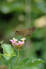 Ocala Skipper (Panoquina ocola) (((Ospr3y))) Tags: nature georgia nikond70 lantana panoquinaocola richmondcountyga longwingedskipper hephzibahga ocalaskipper georgiabutterflies afnikkor3570mmlens myepiclantana