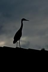 Negativt utrymme. (Peter Hillhagen) Tags: bird silhouette silhuett siluett häger fotosondag fs110814 negut