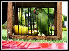 Parrot Astrology - Kili Josiyam (Midhun Manmadhan) Tags: india green future parrotastroloy kilijosiyam