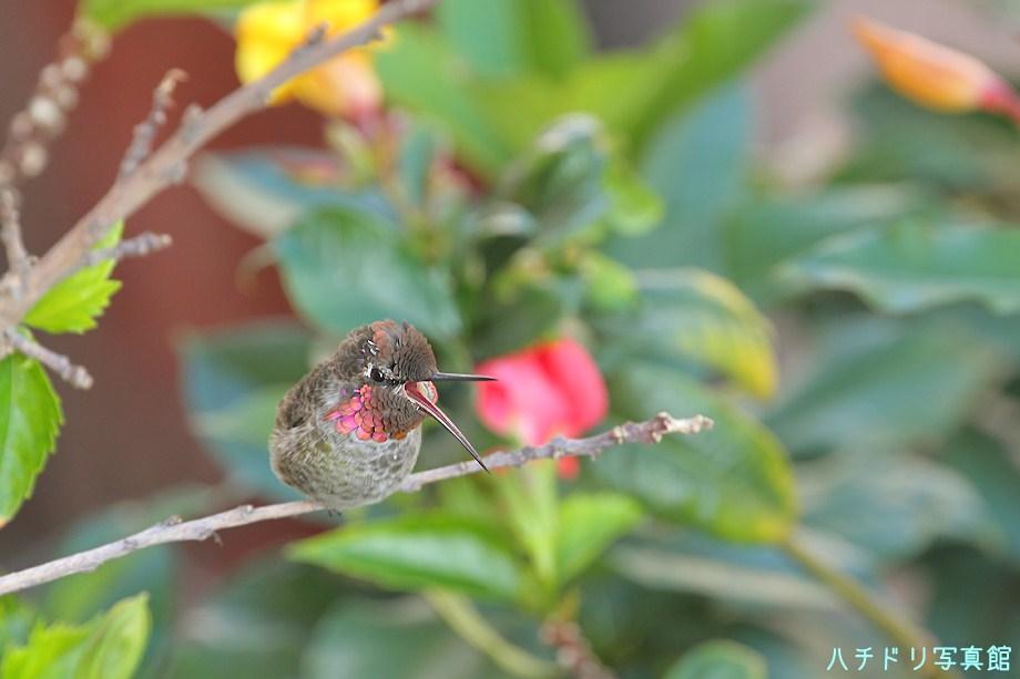 Anna's Hummingbird 081611-2