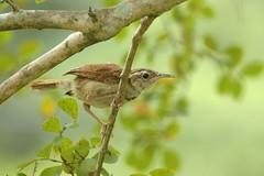 Carolina Wren (Thryothorus ludovicianus) (((Ospr3y))) Tags: birds nikond70 wren carolinawren thryothorusludovicianus richmondcountyga sigmaaf70300mmf456apodgmacrolens hephzibahga