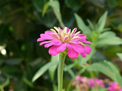 P1090554 (zhang sk) Tags: flowers damnoensaduak fz50 zhangsk