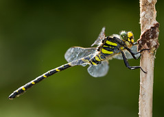 golden ringed dragonfly (roly2008.) Tags: canon insect dragonfly dorset 100400mm odonata goldenringed kilwood
