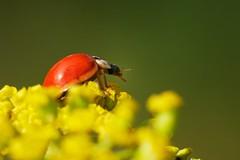 Harmonia axiridis (Pallas) (jocelyn lafrance) Tags: macro insecte coccinelle asiatique faune extérieur coccinelleasiatiquemulticolore coléoptère coccinellidés harmoniaaxiridispallas