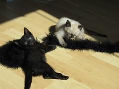 kitties.JPG (estro) Tags: kitteh cuteness