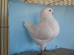 P6190208 (Australian National Pigeon Association) Tags: show birds pigeons fancy roller dragoon fantail tippler jacobin