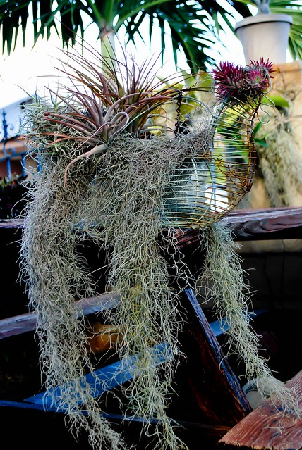 Rooster Air Plant