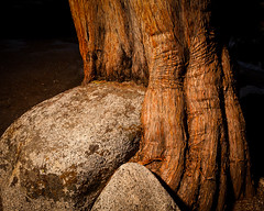 Rock in tree (el.merritt) Tags: california longexposure nightphotography light tree texture rock painting nationalpark tripod wideangle august yosemite f80 juniper ynp tiogapass vle 23mm emphoto41