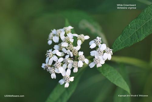 White Crownbeard - Verbesina virginica