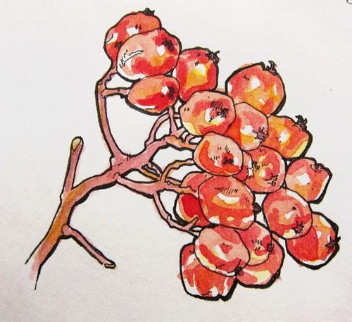 berry sketch