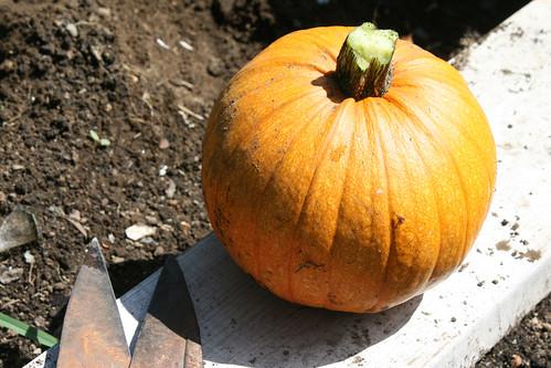 fresh picked pumpkin