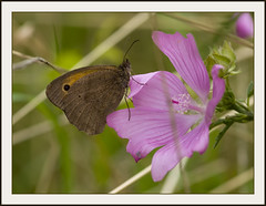 Meadow Brown (Jan Gee) Tags: flower macro nature butterfly insect niceshot papillon mariposa insekt schmetterling vlinder ringexcellence
