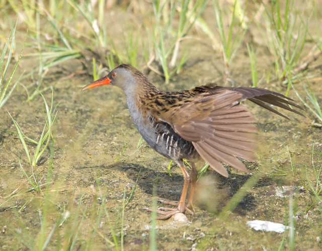 water rail stretching