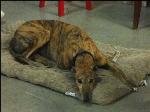 Greyhound - model Bowie