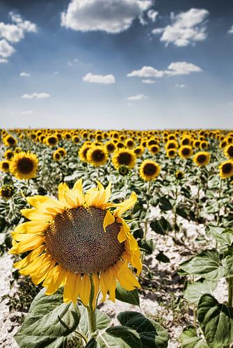 [フリー画像] 花・植物, 向日葵・ヒマワリ, 花畑, スペイン, 201108310700