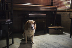Ian the Beagle! (Devin Huang) Tags: dog cute beagle puppy ian classroom piano doggie