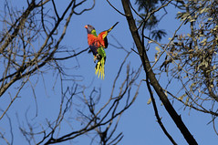 Rainbow Lorikeet : Almost  Spring !!! (Clement Tang ** Busy **) Tags: bird nature inflight wildlife parrot australia victoria rainbowlorikeet avian birdwatcher wintermorning trichoglossus haematodus closetonature concordians candlebarkpark