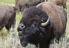 Bison Male (marlin harms) Tags: bison bisonbison