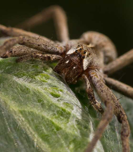 nursery web spider 4