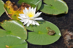 A Classic! Beauty and the Beast (Rasamatas) Tags: flower lexington frog wetlands lillypad richlandcounty