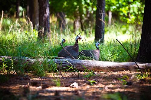 110716 Guinea Fowl