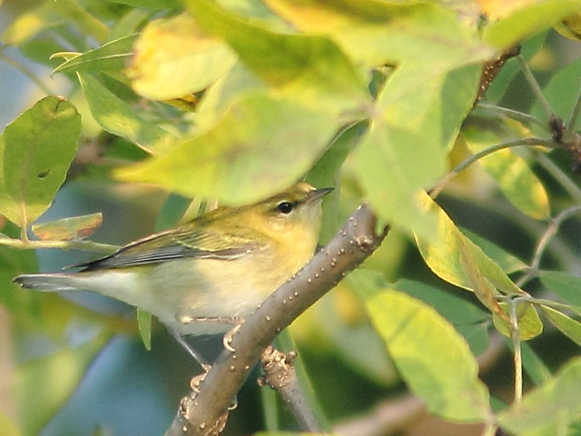 Tennessee Warbler 4-20110830
