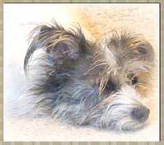 Miss Lilly (chippewabear) Tags: dog chien puppy mutt perro terrier lilly shaggy ratterrier rattie shaggydog misslilly