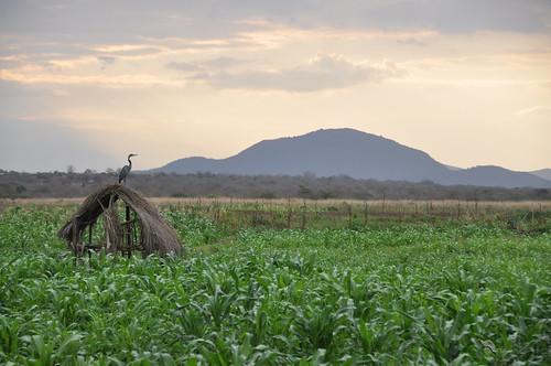 Maize field at sunset