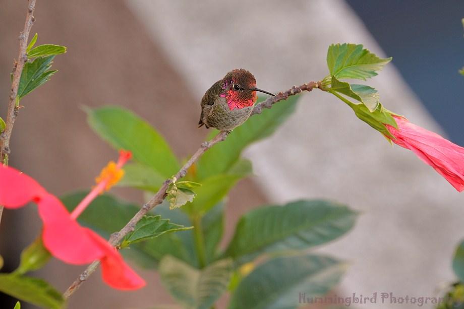 Anna's Hummingbird 030911